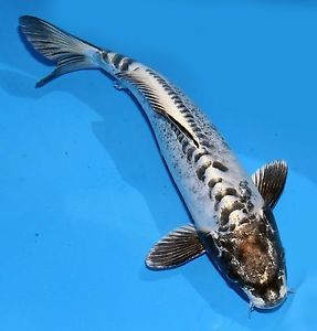 "Live Koi Pond Fish 11 12"" White Kin Kikokuryu Black Head Ghost Koibay"
