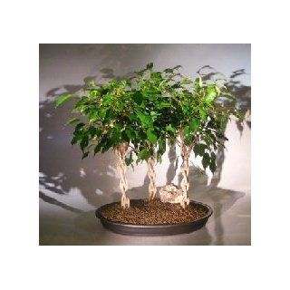 Bonsai Boy's Ficus Braided Twist Three Tree Forest Group ficus compacta  Bonsai Plants  Patio, Lawn & Garden