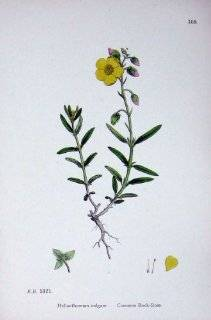 Common Rock Rose Botany Plants C1902 Helianthemum   Prints